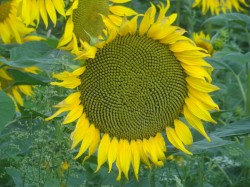 Avec l'huile de tournesol, laissons entrer le soleil dans les cosmétiques !