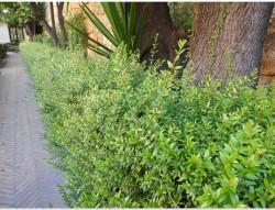 Le myrte, de l'Alcazar de Séville au shampooing antipelliculaire, un végétal qui mérite une hola... ollé !