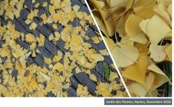 Ginkgo biloba, un arbre millénaire qui tend ses feuilles au sujet acnéique !