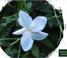 Le jasmin : petites fleurs, mais grandes ambitions !
