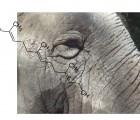 Le farnésol, une molécule qui parfume énormément les éléphants, le souci des champs et le vin de riz enivrant !