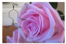 Citronellol/hydroxycitronellal, des molécules qui attirent le consommateur et repoussent les insectes