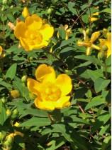 Le millepertuis, une plante capricieuse peu utilisée dans le domaine cosmétique !