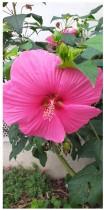 L'hibiscus, il en a sous le pétale !