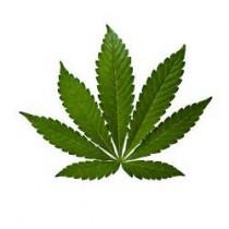 Du cannabis en pot… et pas seulement sur le balcon !