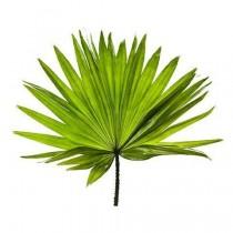 Le sabal, un palmier qui traite aussi bien la prostate que les cheveux gras !